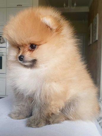 Piesek Szpic Miniaturowy Pomeranian, ALBERT Dolly Lolly Poms (FCI)