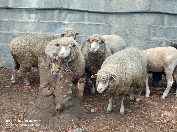 Ovelhas borregos carneiro cabras