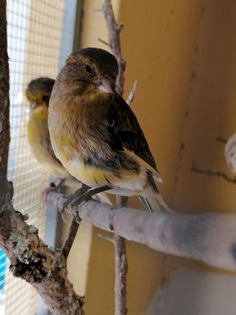 Canários, Pássaros, aves, criação
