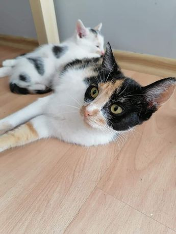 Kotka-trikolorka Aria do adopcji