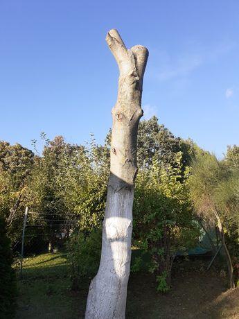 Sprzedam  drzewo orzech  włoski