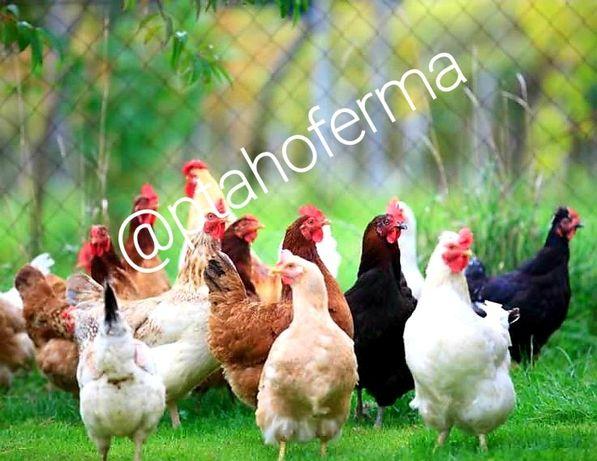 Курочки несушки Бройлер цыплята Мулард Индюшата Биг6 Утята Гуси корма