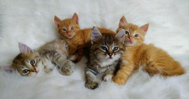 Кукольные котята 1.5 мес. Девочки и мальчики.
