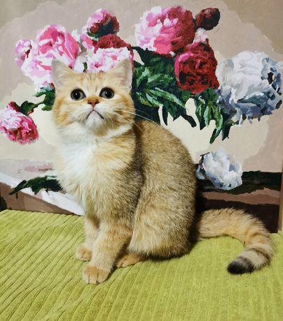 Кошечки золотая шиншилла, по доступной цене