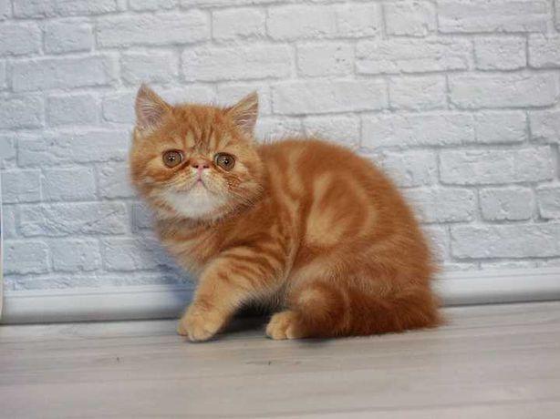 Экзотический мальчик . Предлагаем великолепного чистопородного котёнка