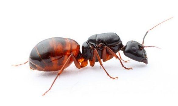 Camponotus americanus Mrówki - Q 2020 + 3-5 robotnic