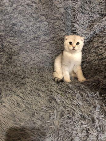 Серебристый котик
