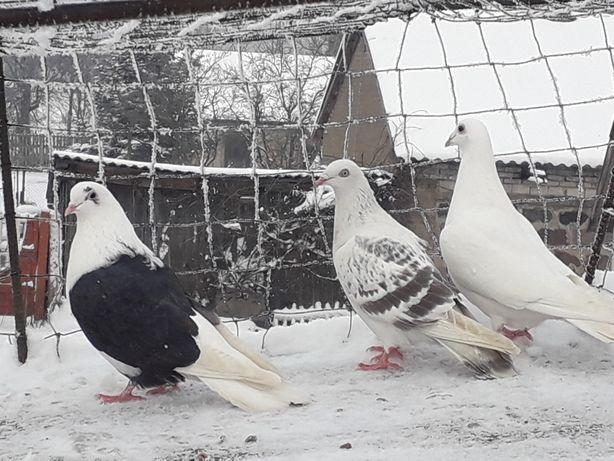 Gołębie ozdobne łapane