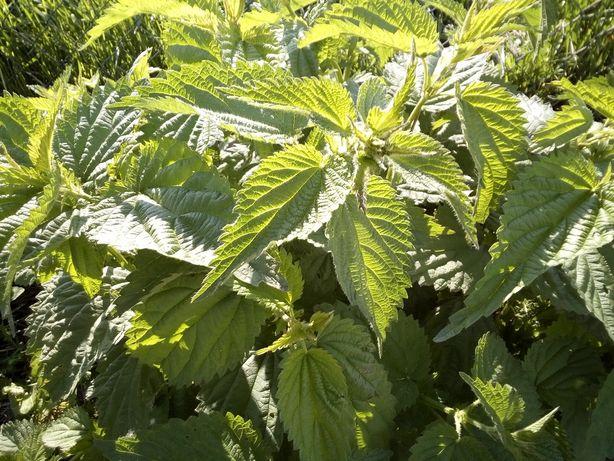 Stymulator wzrostu, ekstrakt roślinny, bio nawóz, gnojówka z pokrzywy