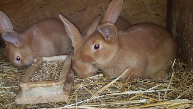 Piękne młode króliki /OBŻ