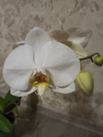 Орхидея продажа или обмен