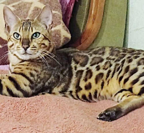 Бенгальський котик в'язка злучка з бенгальським котом