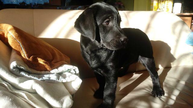 Labrador Labradory szczeniak szczeniaki CZARNE do odbioru z rodowodem
