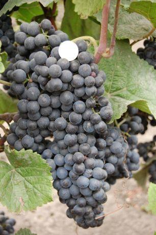 Саженцы и черенки винограда винных сортов. Розница и опт.87 сортов