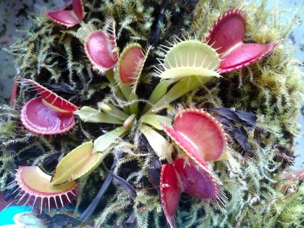 Carnívoras . várias plantas
