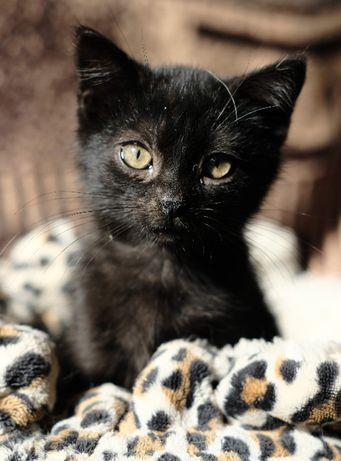 Elvis, czarny kociak do adopcji
