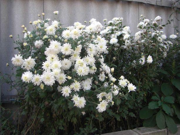 Юкка и хризантема