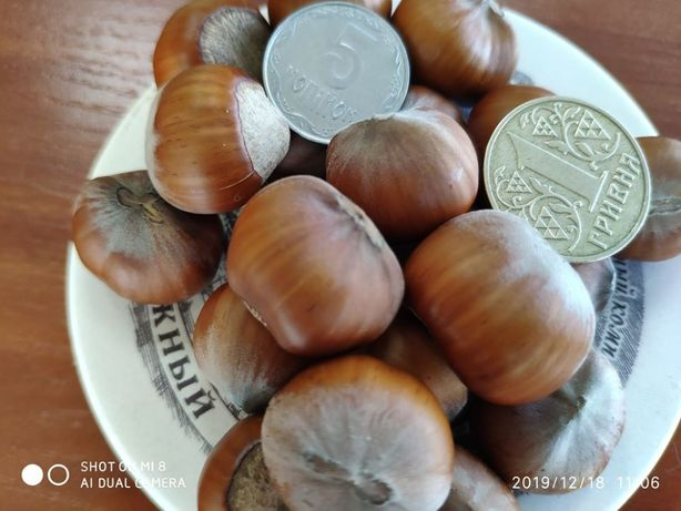Саджанці фундука Трапезунд трьохрічна в горшках