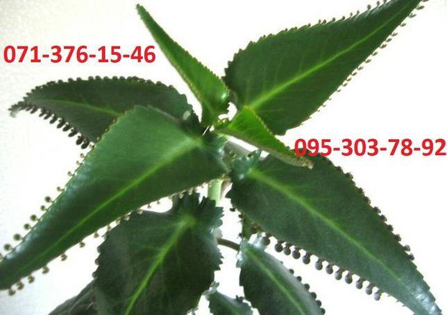 Лечебное каланхоэ (3-3,5 года) за 100 руб