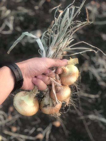 Продам лук Штудгарт,урожай 2020 года.Не гнилой,и не поливной!