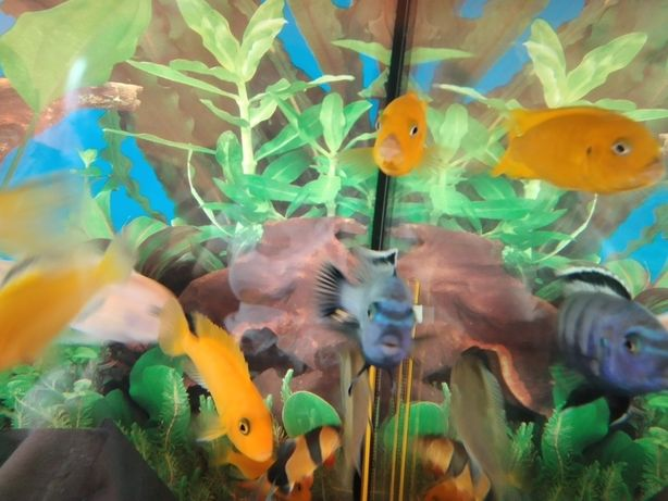 Ryby pyszczak Saulosi