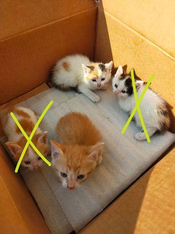 małe kotki 2 miesiące