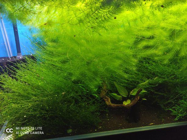 Rogatek, mech rośliny akwarium