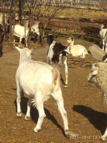 Продам коз и племенных козлов