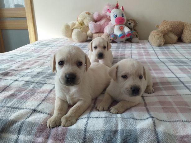 Labrador szczeniaki rezerwacja biszkoptowe i złote