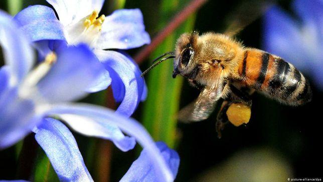 Продам пчелы, без ульев