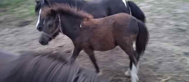Koń kucyk ogierek 7-miesięczny