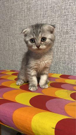 Продам котенка шотландского вислоухого