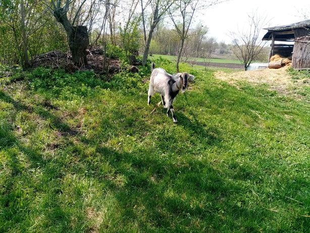 Продам молоду дійну козу та малих козочок