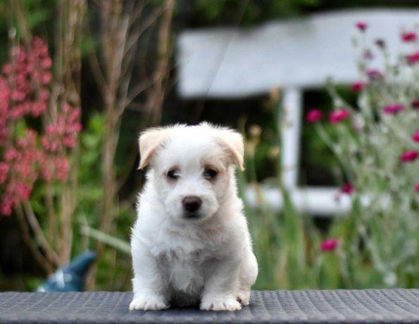 Szczeniak piękny chlopczyk Jack Russell Terrier ZKwP FCI,