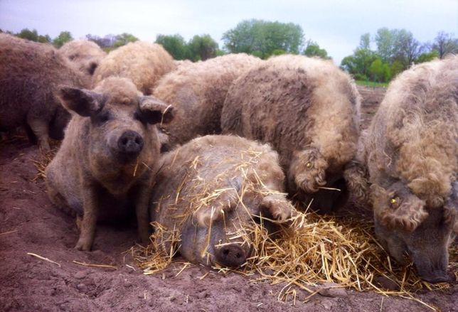 Свиньи, свиноматки мангалица