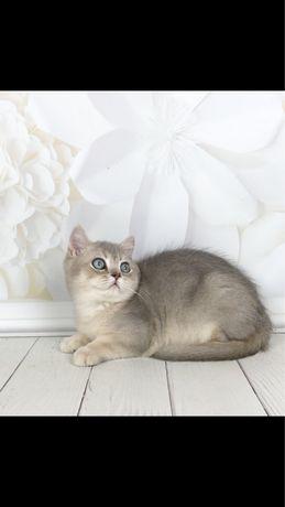 Британский котик. Окрас голубая шиншилла. Изумрудные глазки