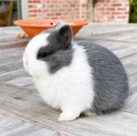 KIT completo coelhos anões mini holandês muito fofos