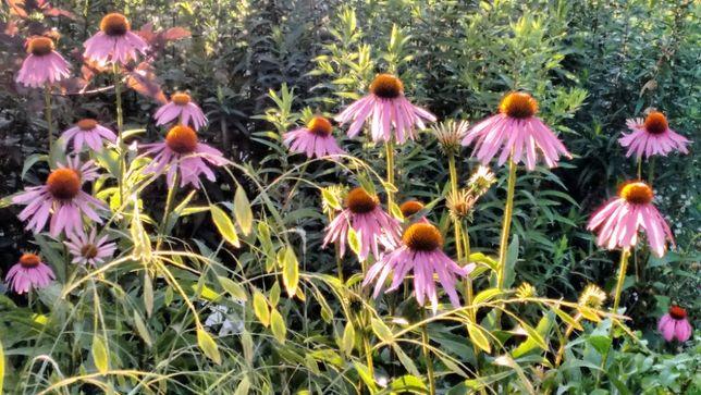 Многолетники для сада, многолетние цветы и растения