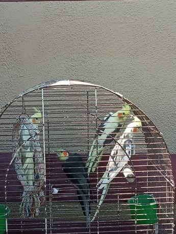 Wymienię samca na samicę papugi nimfy