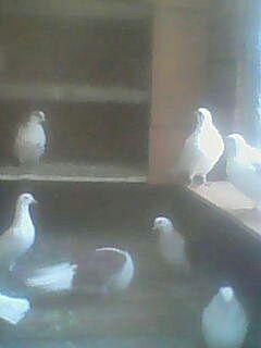 Голуби. Голуби на свадьбу. Продажа породистых голубей