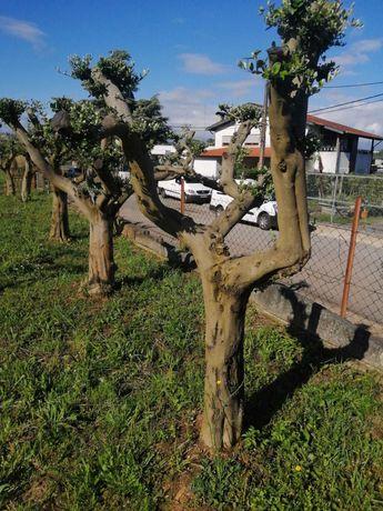 Oliveiras Bom Preço! Reserve já a sua! / Plantas / Árvores / Jardim