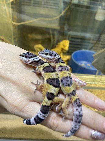 Эублефарчики молодые особи геккон