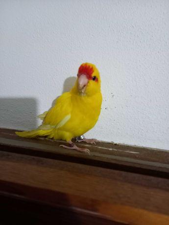 Caraquiqui amarelo
