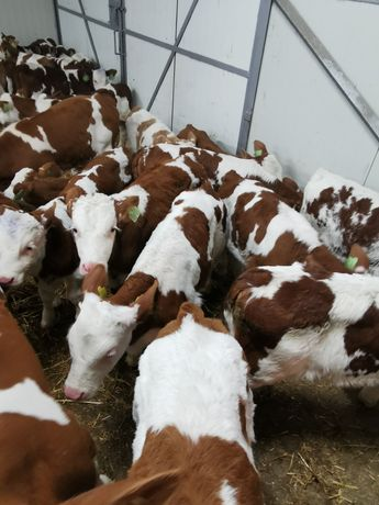 Byczki mieszanki mięsne
