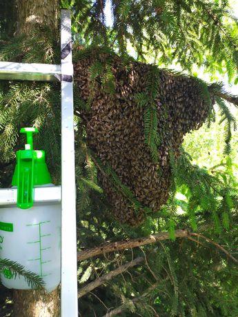Pszczoły z matką na 4 ramkach warszawskich poszerzanych