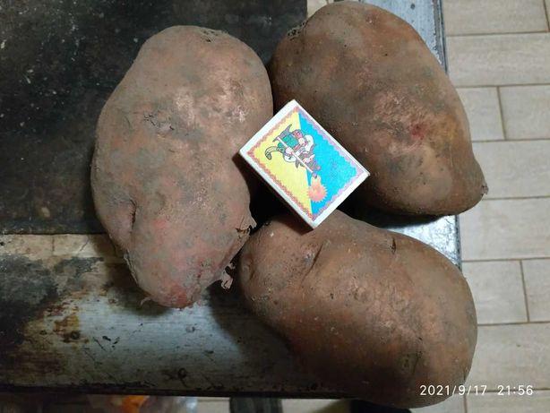 Картопля домашня (велика)