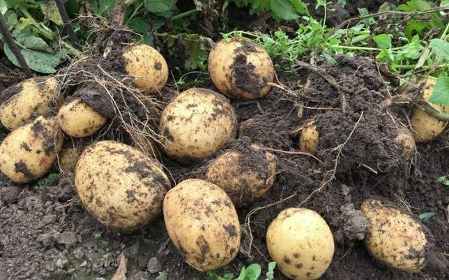 Продам елитный сортовой картофель