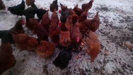 Jaja wiejskie ekologiczne ze wsi
