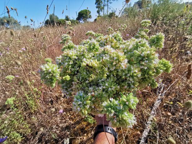 Orégãos em folha e flor sem talos sem químicos  sem produtos, 100% Nat