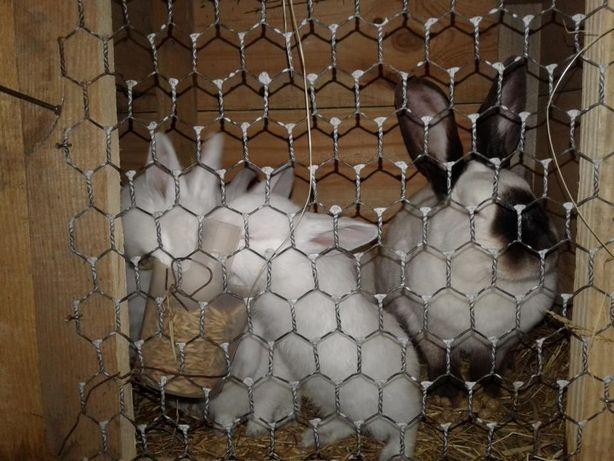 Продам кроликів Каліфорнійців
